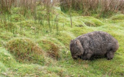 Relief as wombat killing finally banned after hunting lodge revelations
